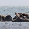 Phoques- loups marins- Baie Port-Menier, Anticosti