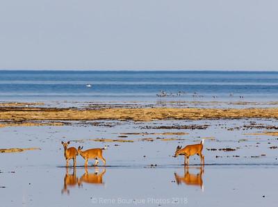 Chevreuils sur le rif à marée basse, Pointe Ouest d'Anticosti