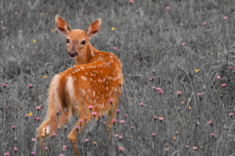 whitetail fawn, black and white, flowers