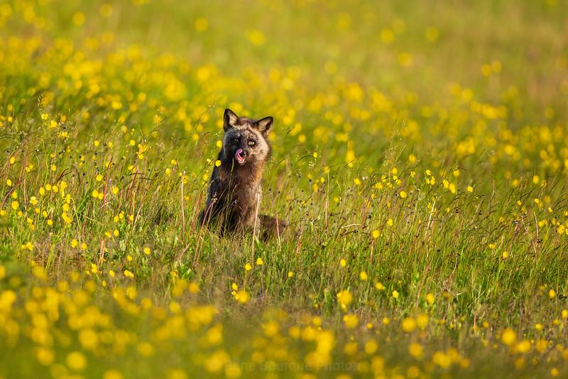 Anticosti fox in a field,  yellow flowers