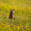 Anticosti fox in a field,  yellow flowers