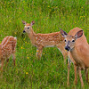 Doe with two fawns, port menier, anticosti