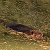 beaver swimming in pound, tamarack needles, anticosti
