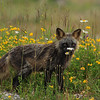 silver fox, flowers, anticosti, photo safari