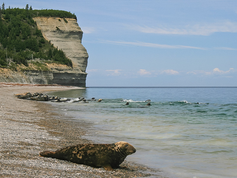 Seals on the beach and cliff. Anticosti national park.