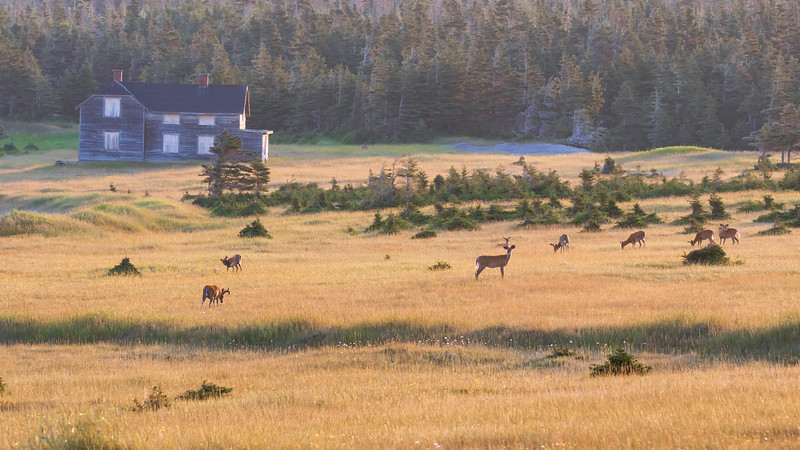 Deer and old house in Baie-Sainte-Claire, Anticosti