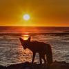 Fox at sunset, Anticosti Island