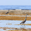 Great blue heron at low tide , West-Point of Anticosti island
