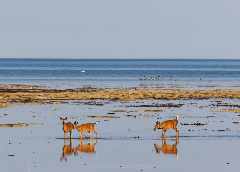 Anticosti island, deer in water, reflexion on the beach