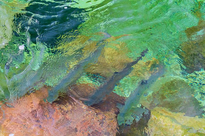 Atlantic salmon in the jupiter river