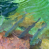 Atlantic salmon in the jupiter river