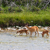 A doe and her fawns drink in the chicotte river, anticosti photo safari 2018