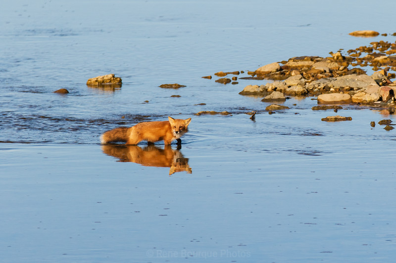 Red fox and his reflexion crossing a river