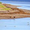 Doe, fawn, mergansers, Anticosti beach