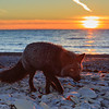 Silver fox on the beach at sunset, anticosti