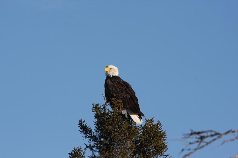 Bald eagle on a tree, anticosti island