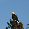 Bald eagle on a tree, anticosti island