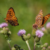 Butterflies, flowers, anticosti island