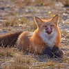 Red fox making face, anticosti