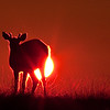 At sunset, a deer in backlighting, anticosti photo safari
