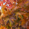 Varnished Autumn Leaves  Amador County