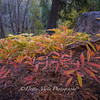 Autumn Ferns 2