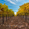 Bray Vineyards Autumn Yellow Amador County, California