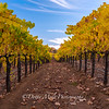 Bray Vineyards Amador County  Follow the Yellow Rows