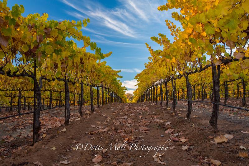 Bray Vineyards Amador County Follow the Yellow rows 2