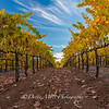 Bray Vineyards Amador County Follow the Yellow rows 2