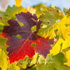 Backlit Grape Leaves  Amador County