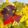 Backlit Grape Leaves  Amador County