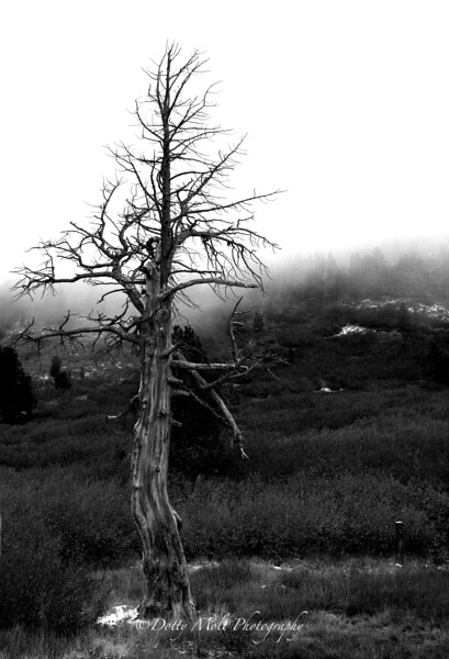Ghost Tree along Mt. Rose Hwy October Early Fog and Snowflakes