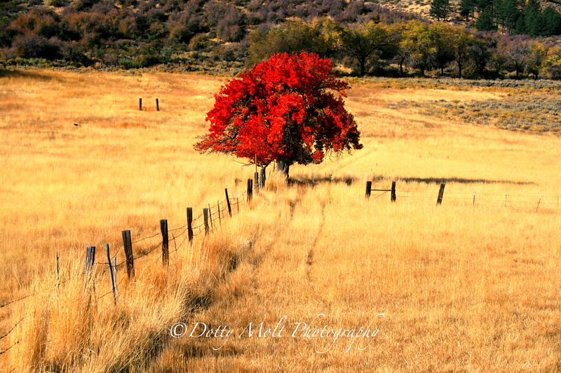 Lonely Red Tree  Old 395