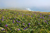 Iris Field on a foggy afternoon Point Reyes National Seashore