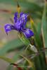 Iris Blooming along Point Reyes