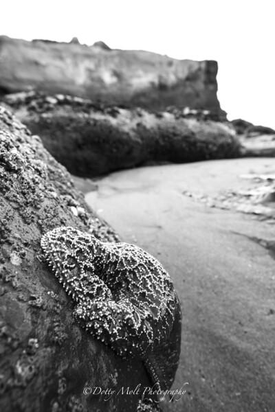 Starfish Santa Cruz Beach
