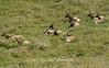 Tule Elk Preserve Point Reyes National Seashore