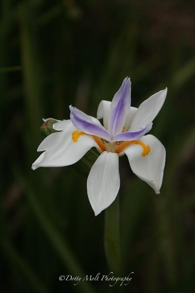 Iris in Mom's Backyard  Lake Placid, Florida