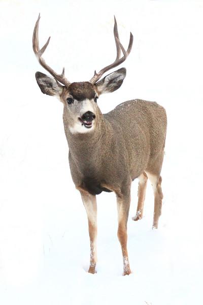Young Buck, Reno, Nevada