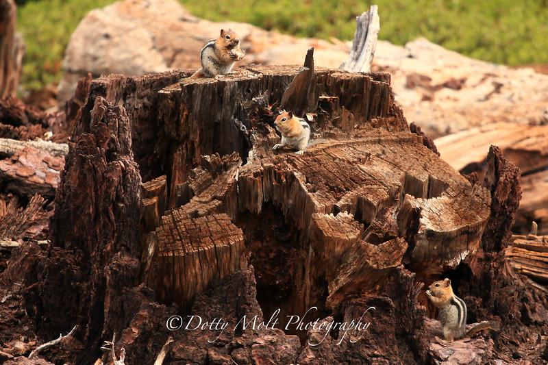 Family of Orange Ground Squirrels, Marlette Lake, Carson Wilderness, Nevada