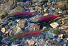 Kokanee Salmon, Taylor Creek, South Lake Tahoe, California