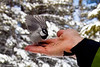 A Bird in the Hand, Chickadee Ridge, Mt. Rose Wilderness, Nevada