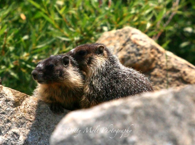 Marmot Couple, Hope Valley, California