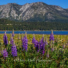 Kiva Beach Lupine Meadow
