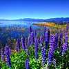 Summer Morning Lupines on Lake Tahoe