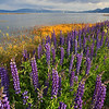 Heavenly Lupines, Lake Tahoe West Shore