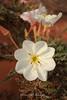 Page, Arizona White Wildflower