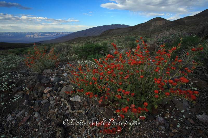 Death Valley Wildflowers, April