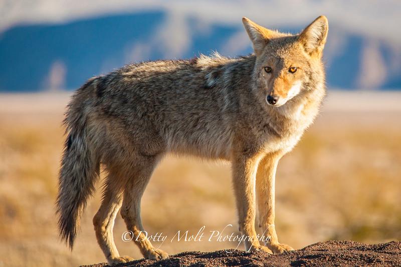 Wiley Coyote, Death Valley